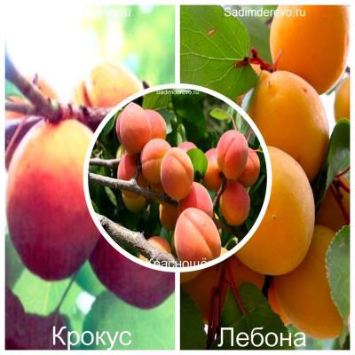 Абрикос - комплект из 3-х сортов: Абрикос Краснощёкий > Абрикос Крокус > Абрикос Лебона